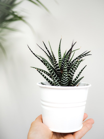 Hand holding a zebra haworthia succulent indoor against a white wall.
