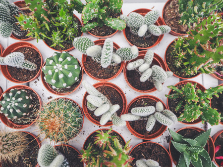 Variety of small cactus plants in plastic pots on white loading trays