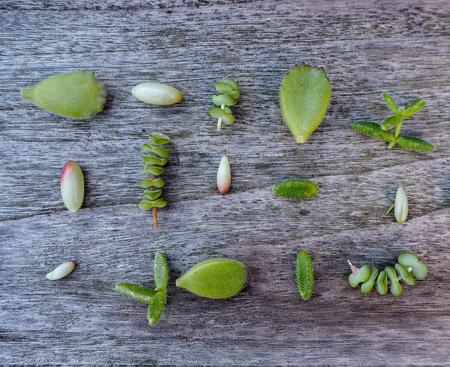 Variety of multiple green succulent leaves ( crassula, sedum, cotyledon, ...) ready to be propagated.