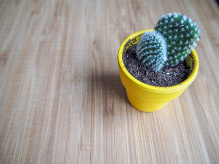 Yellow container with two small opuntia microdasys cactus pads, also known as bunny ears cactus, against a wooden background