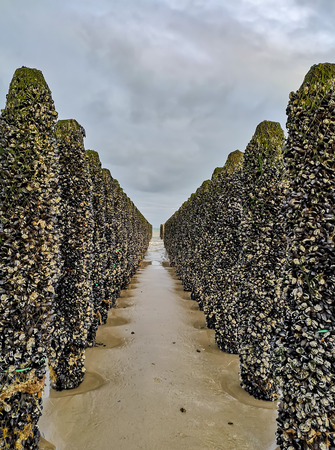 Low tide exposing rows of mussels cultivated on robes attached to poles in the bay of Wissant at Cap Gris-nez, Pas-de-Calais in Northern France Фото со стока