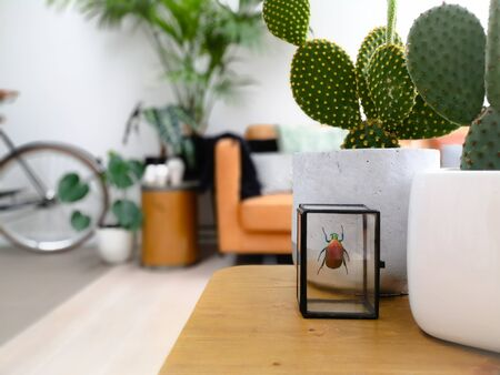 Preserved colorful beetle and cactus plants on a wooden coffee table in a light modern living room with an urban jungle feeling