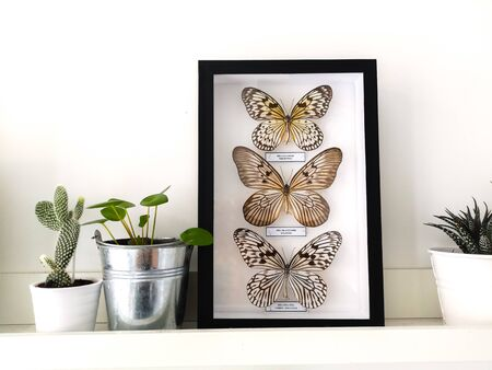 White floating shelf with framed taxidermy butterflies display and small houseplants in a black and white interior Stock fotó