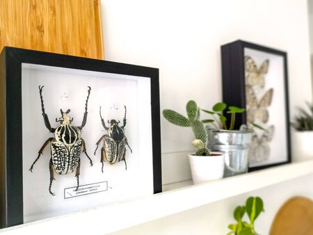 Black taxidermy frame of two black and white Goliath beetles ( Goliathus Orientalis) on a white hanging shelf Stock fotó
