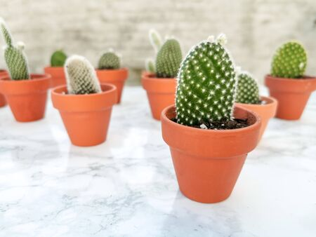 Small opuntia microdasys cactuses, commonly known as bunny ears cactus, propagated in terracotta pots