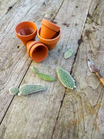 Small pads of the cactus opuntia microdasys, commonly known as bunny ears cactus on a wooden table ready to be planted in terracotta pots
