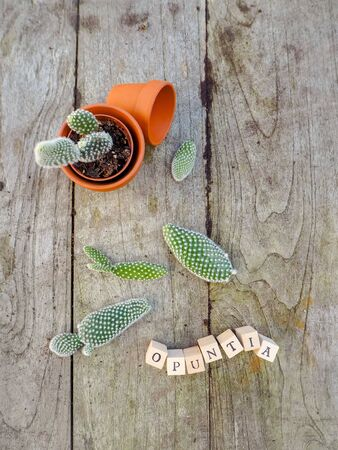 Small pads of the cactus opuntia microdasys, commonly known as prickly pear cactus on a wooden table ready to be planted in terracotta pots