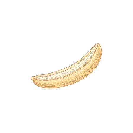 Composition with peeled yellow ripe banana fruit isolated on white background. Hand-drawn realistic detailed colored vector illustration of healthy tropical food
