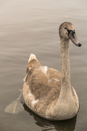 palmiped: Gray Beautiful baby swan floating on water in autumn. Hyde Park. London (UK)