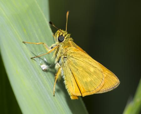 ochlodes: macro of large skipper, an orange butterfly on a leaf