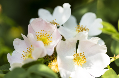 Flowers of dog-rose (rosehip) growing in nature Stock Photo