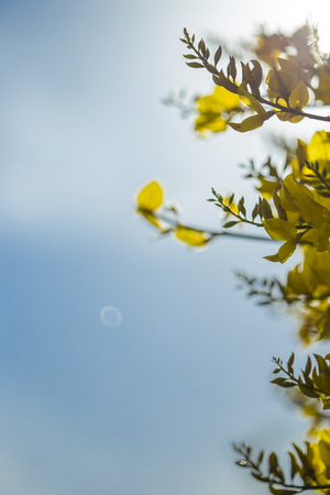 Yellow flowers of Genista sagittalis broom plant under a blue sky
