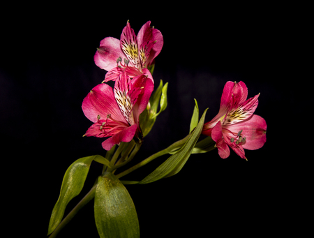 Astromelia pink flower against a black background