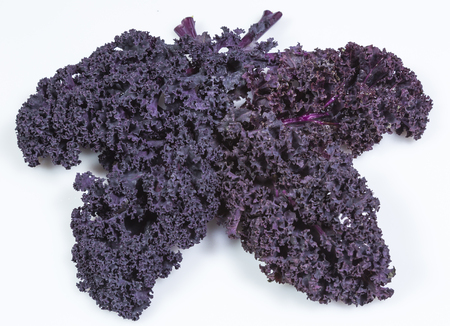 Freshly harvested purple curly kale cabbage