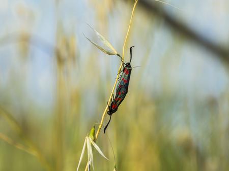 red clover: Two six spot burnet butterflies, Zygaena filipendulae, in love