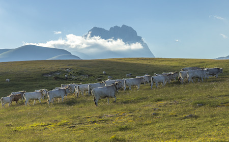 Cows going up to the hill to feed in a meadow Stock Photo