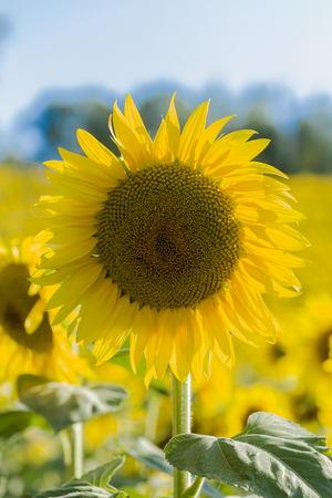 background: Vibrant yellow and orange photo of a sunflower Stock Photo