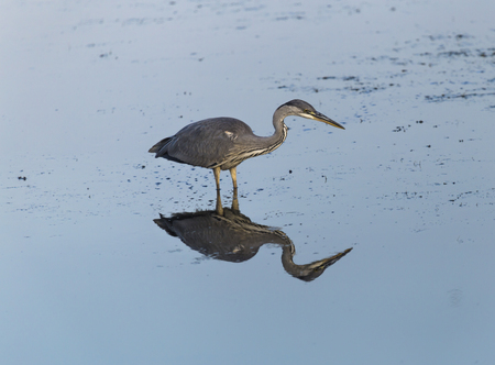 Gray heron fishing in a pond at sunset Stock Photo