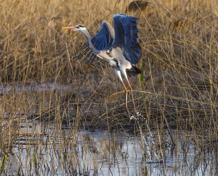 beautiful gray heron in flight from the lake 版權商用圖片