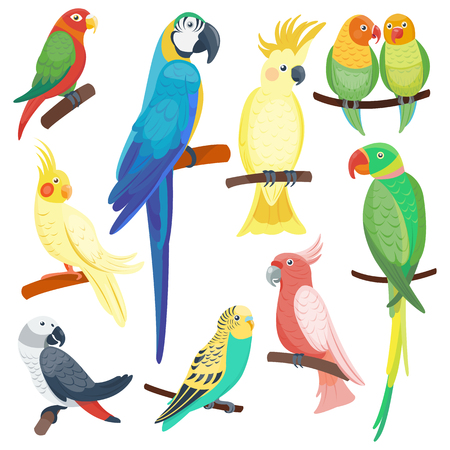 fauna: Cartoon parrots set and parrots wild animal birds. Tropical parrots feather zoo birds, tropical fauna macaw flying ara. Various cartoon exotic birds set with parrots vector illustration. Illustration