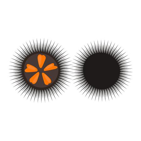 Black sea urchin arbacia lixula aquatic natural food. Wild animal raw food fresh sea urchin marine underwater. Water aquatic spiny sea urchin wildlife creature shell tropical exotic vector sharp.