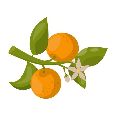 dietary: Ripe fresh orange branch on a white background. Orange isolated vector and juicy ripe vitamin fresh orange isolated. Orange isolated tropical healthy fruit and refreshment exotic dessert. Illustration
