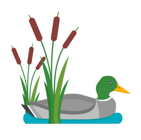 Drake duck in water wild nature hunting bird. Flying water animal ornithology beak. Waterfowl mallard wild beautiful vertebrate waterbird vector character.