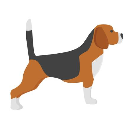 Show dog of breed beagle on white background. Hunter fast animal beautiful friendly terrier. Adorable pedigree doggy. Cute domestic purebred hunt male pet vector.