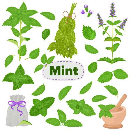 Menta vettore menta verde foglie aroma di mentolo e menta piperita fresca illustrazione di erbe set di ingrediente alimentare a base di erbe foglia pianta verde isolato su priorità bassa bianca Vettoriali