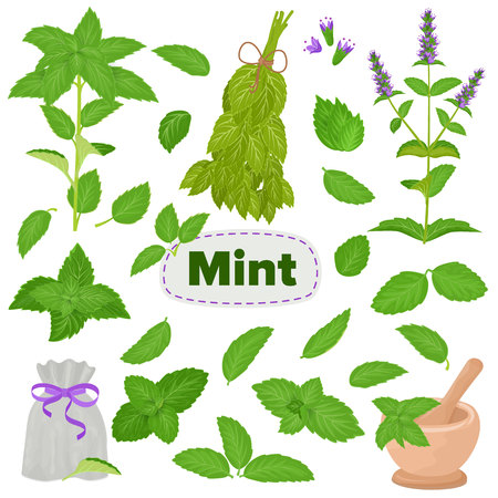 Mint vector spearmint leaves menthol aroma and fresh peppermint herb illustration set of herbal green plant leaf food ingredient isolated on white background. Çizim