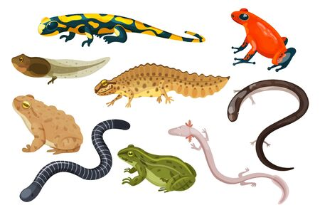 Amphibienvektorillustrationssatz. Exotische Cartoon tropische Amphibien, bunte sitzende Kröte und Frosch Lebenszyklus Kaulquappe, Salamander, Triton Caecilian. Flache Tiere Haustiere für Zoo-Symbole isoliert auf weiss Vektorgrafik