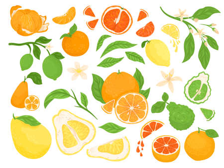 Citrus fruits, lemon, orange, grapefruits and lime set of vector illustration on white background with green leaves. Healthy fresh fruity tropical citruses with halves and sliced for diet and vitamin.