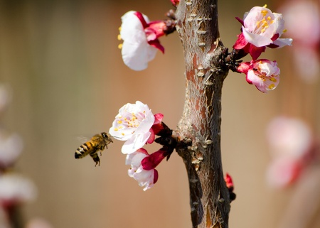 Bee flying on almond tree pink flowers photo