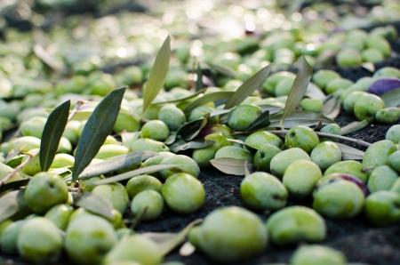 オリーブの収穫 写真素材