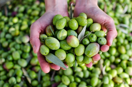 Hands holding green olives photo