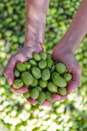 Hands holding olives - harvest day 版權商用圖片