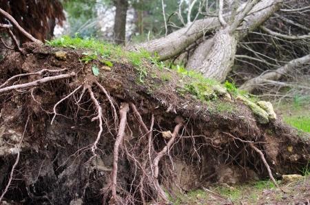 폭풍 후 뿌리가 뽑힌 나무의 뿌리 스톡 콘텐츠