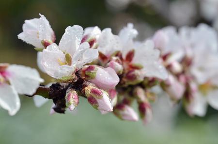 アーモンドの木の花と水滴と春の花