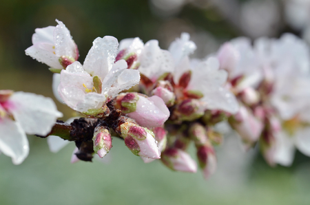 Almond Tree Flowers And Spring Blossoms With Water Drops Stock Photo