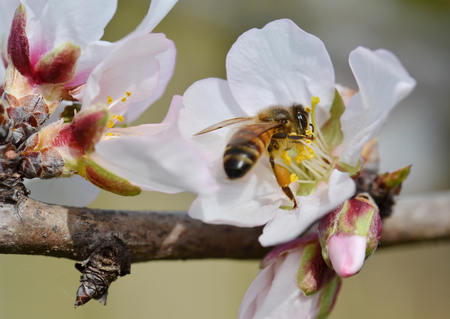almond: Bee On Almond Tree Flower In SpringTime Stock Photo