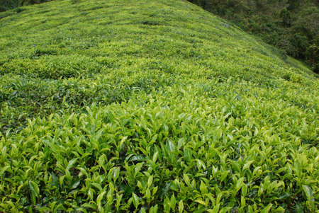 Cameron Highlands, Malaysia, tea plantation Stock Photo - 9115394