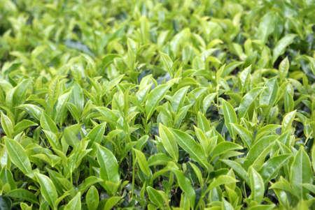 Plantation de th� Cameron Highlands, Malaisie,