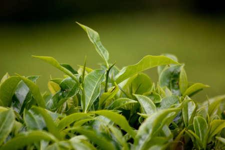 Cameron Highlands, Malaysia, tea plantation Stock Photo - 9115385