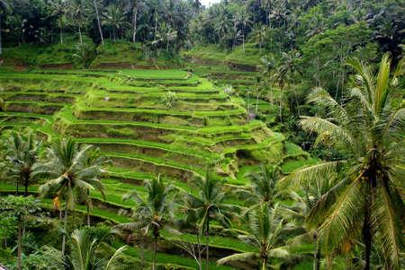Rice terrace, Bali, Indonesia Stock Photo - 9115935