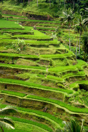 Rice terrace, Bali, Indonesia Stock Photo