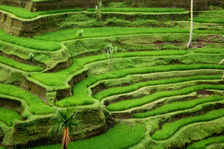 Rice terrace, Bali, Indonesia Stock Photo - 9115934