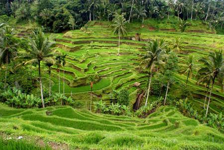 Terrasse de riz, Bali, Indon�sie Banque d'images