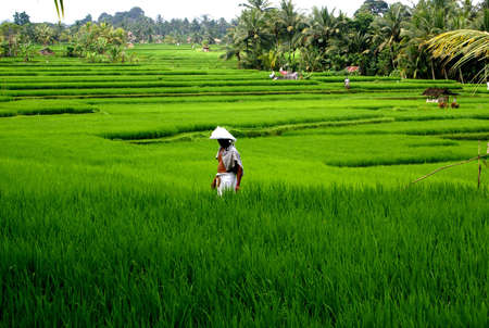 Rice terrace, Bali, Indonesia photo