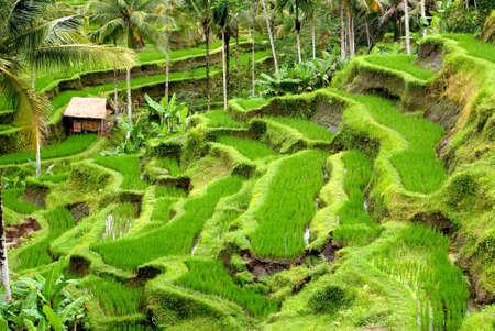 Rizi�res, Bali, Indon�sie