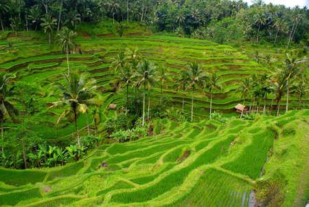 Rice fields, Bali, Indonesi